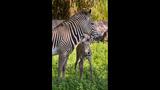 PHOTOS: Grevy's Zebra born at Busch Gardens - (1/3)