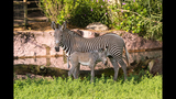 PHOTOS: Grevy's Zebra born at Busch Gardens - (2/3)