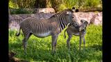 PHOTOS: Grevy's Zebra born at Busch Gardens - (3/3)