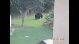 Photos: Bear spotted roaming Seminole Co.… - (6/6)