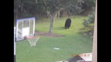 Photos: Bear spotted roaming Seminole Co.… - (3/6)