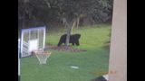 Photos: Bear spotted roaming Seminole Co.… - (1/6)