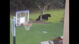 Photos: Bear spotted roaming Seminole Co.… - (5/6)