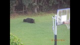 Photos: Bear spotted roaming Seminole Co.… - (4/6)