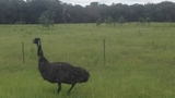 Photos: Emus on the run in Lake Co. - (6/8)