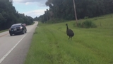 Photos: Emus on the run in Lake Co. - (1/8)