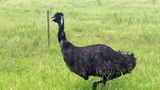 Photos: Emus on the run in Lake Co. - (5/8)