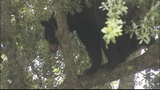 Photos: Big bear in Apopka tree - (17/18)