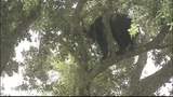 Photos: Big bear in Apopka tree - (1/18)