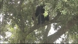 Photos: Big bear in Apopka tree - (3/18)