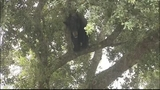 Photos: Big bear in Apopka tree - (6/18)