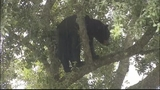 Photos: Big bear in Apopka tree - (18/18)