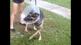 Photos: Dog attacked by bear in Volusia County - (1/5)