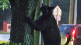 Photos: Big bear in Apopka tree - (4/18)