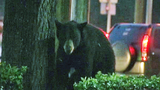 Photos: Big bear in Apopka tree - (10/18)