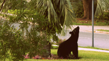 Photos: Bears frequent abandoned Longwood house - (2/20)