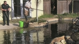 Photos: Real-estate agent finds gator in pool - (1/11)