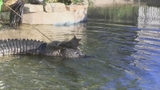 Photos: Real-estate agent finds gator in pool - (6/11)
