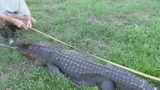 Photos: Real-estate agent finds gator in pool - (2/11)