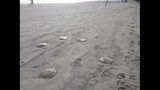 Photos: Jellyfish plague New Smyrna Beach - (2/2)