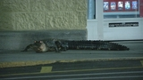 Photos: Alligator at Apopka Walmart - (8/9)