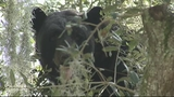 Photos: Bear outside Longwood dental office - (5/8)