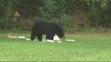 Photos: Bear spends morning playing in Orange… - (4/9)
