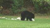 Photos: Bear spends morning playing in Orange… - (5/9)