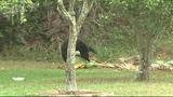 Photos: Bear spends morning playing in Orange… - (6/9)