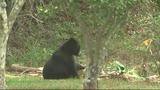Photos: Bear spends morning playing in Orange… - (3/9)