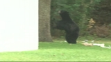 Photos: Bear spends morning playing in Orange… - (8/9)