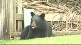 Photos: Bear spends morning playing in Orange… - (9/9)