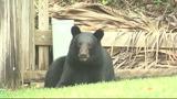 Photos: Bear spends morning playing in Orange… - (1/9)
