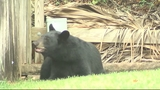 Photos: Bear spends morning playing in Orange… - (2/9)