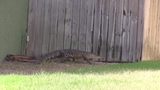 Photos: Woman finds gator outside home - (9/10)