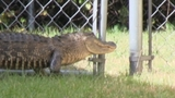 Photos: Woman finds gator outside home - (3/10)
