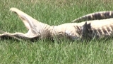 Photos: Woman finds gator outside home - (7/10)