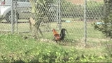 Photo: Roosters running around in Tavares - (2/5)