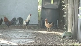 Photo: Roosters running around in Tavares - (4/5)