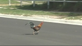 Photo: Roosters running around in Tavares - (1/5)