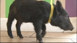 Photos: Feral hog found on property with… - (4/5)