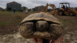 Photos: Gopher tortoises rescued in Apopka - (7/11)