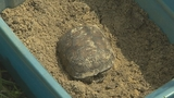 Photos: Gopher tortoises rescued in Apopka - (9/11)