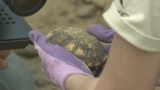 Photos: Gopher tortoises rescued in Apopka - (3/11)