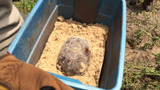 Photos: Gopher tortoises rescued in Apopka - (1/11)