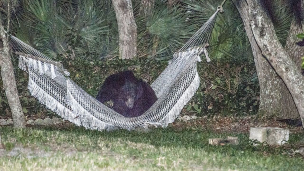 viewer snaps photos of bear lounging in hammock in daytona beach