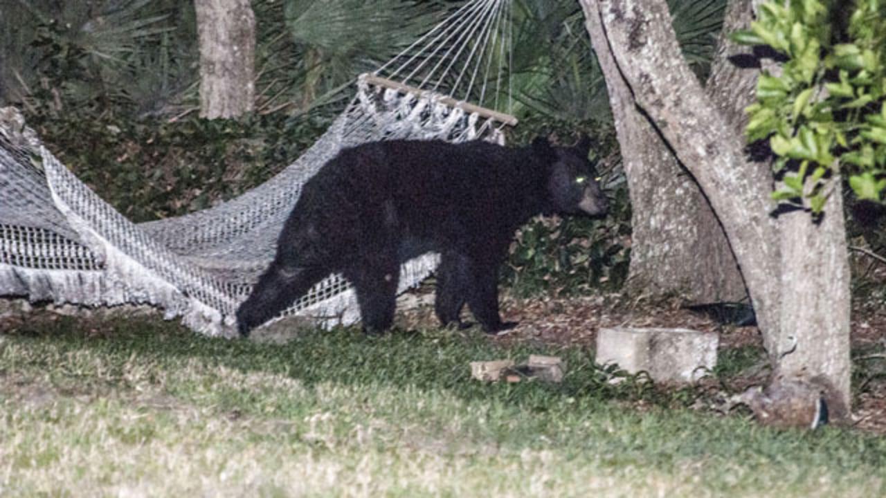 photos  bear lounges on hammock in daytona beach    1 7  photos  bear lounges on hammock in daytona beach   wftv  rh   wftv