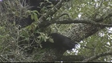 Photos: Bear hangs out in Pine Hills tree - (6/8)