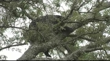 Photos: Bear hangs out in Pine Hills tree - (4/8)