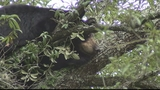 Photos: Bear hangs out in Pine Hills tree - (8/8)